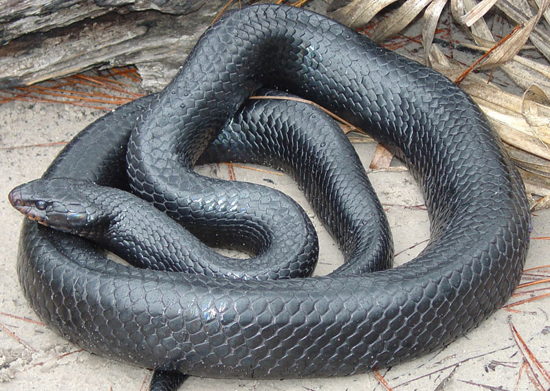 Eastern Indigo Snake - Rookery Bay
