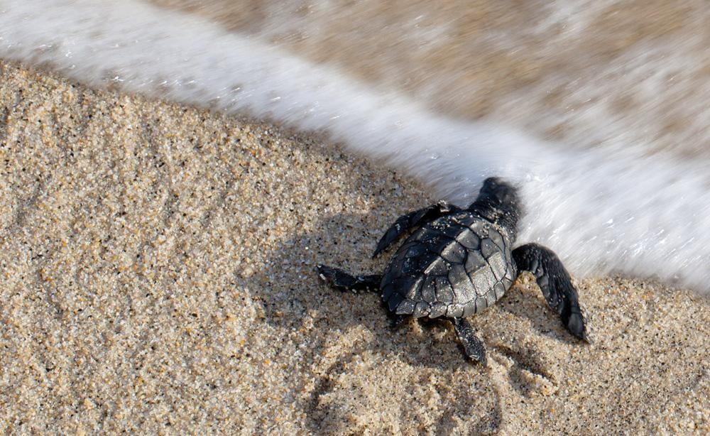Sea-Turtle-hatchling