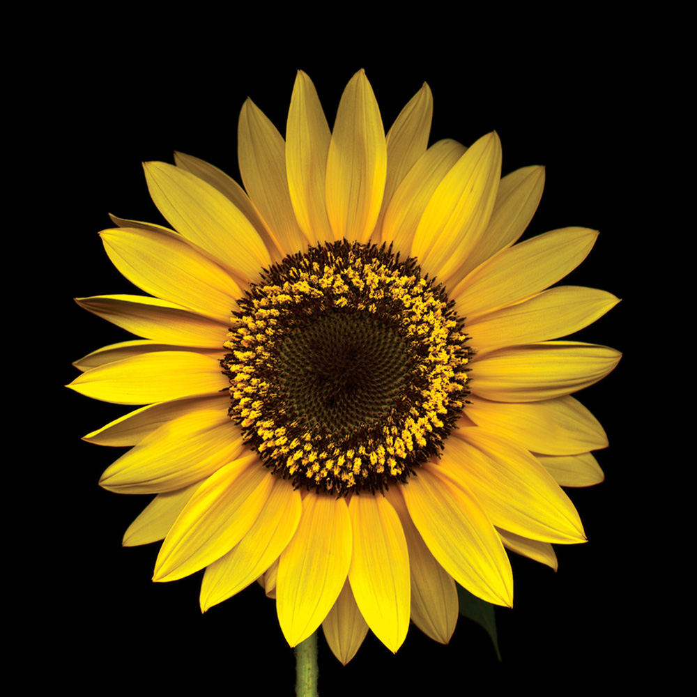 Sunflower--Cheerful-Flowers