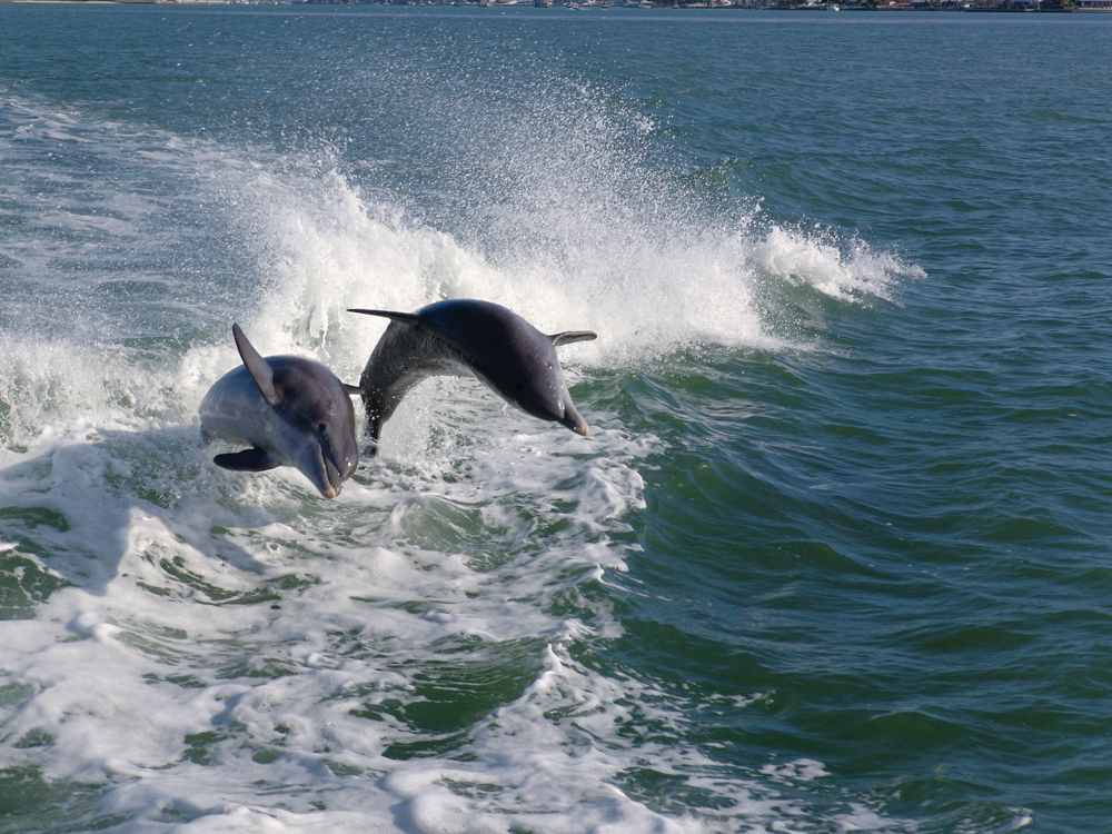 Two dolphins frolic off the coast of Naples. The appealing sea mammals make their home along the Southwest Florida coast and are frequently spotted during sightseeing boat tours.