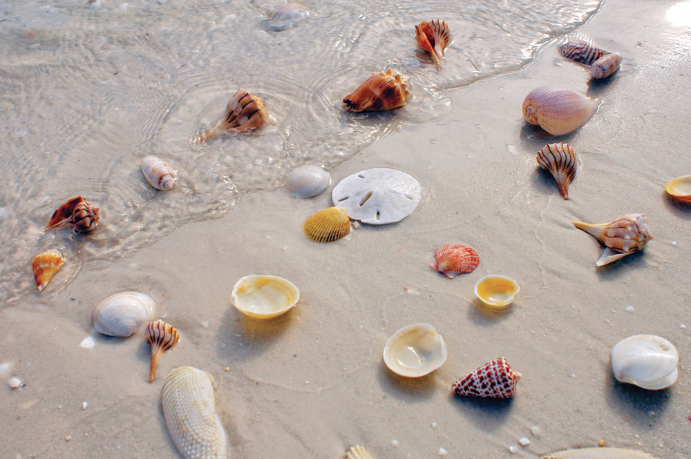 Searching for collectible shells is a favorite activity, especially on the many nearby barrier islands surrounding Naples, Marco Island and Everglades City.
