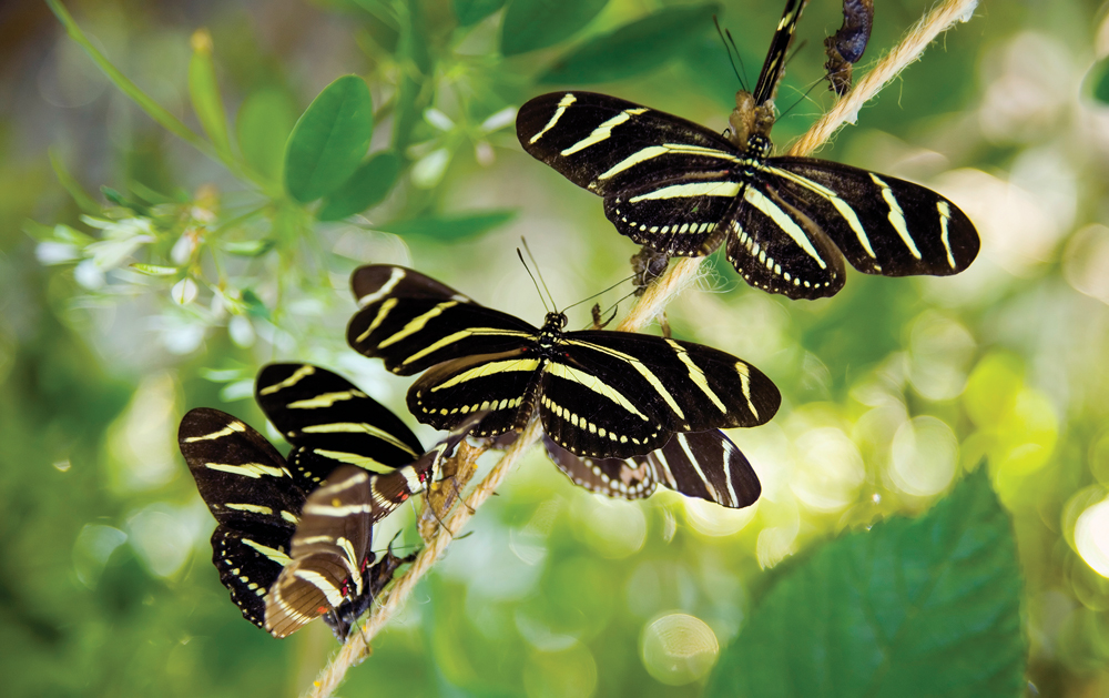 Zebra butterfies and chrysalis at the Naples Botanical Garden, Florida. The Zebra is the state butterfly