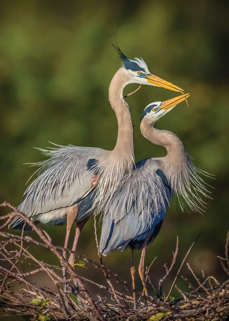 Great blue heron pair at the Wakodahatchee Wetlands in Delray Beach