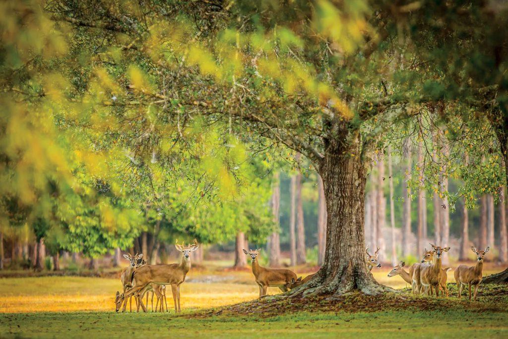 Deer at Corkscrew Swamp Sanctuary east of Bonita Springs