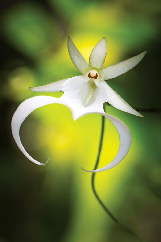 A ghost orchid at the Fakahatchee Strand Preserve State Park west of Copeland