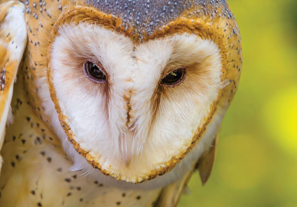 A barn owl at the Conservancy of Southwest Florida in Naples